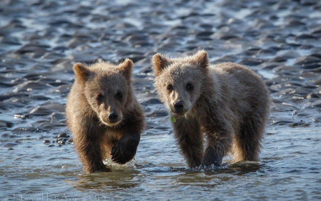 animals bears wallpaper