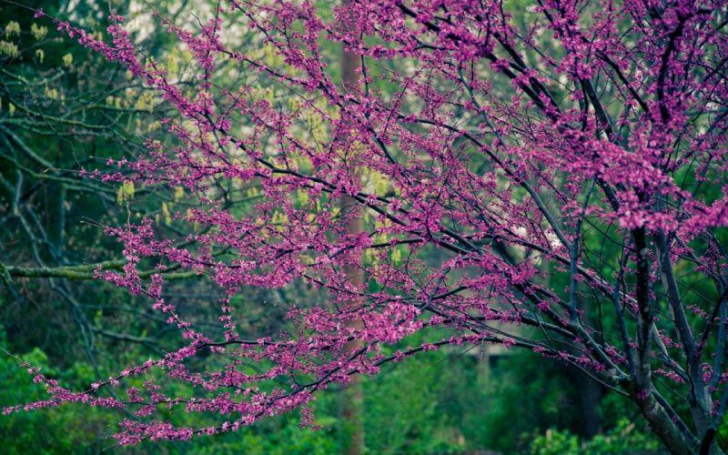 nature trees flowers pink flowers flowered trees wallpaper