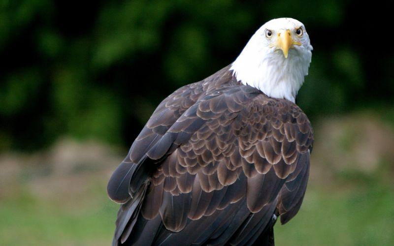 birds eagles wallpaper