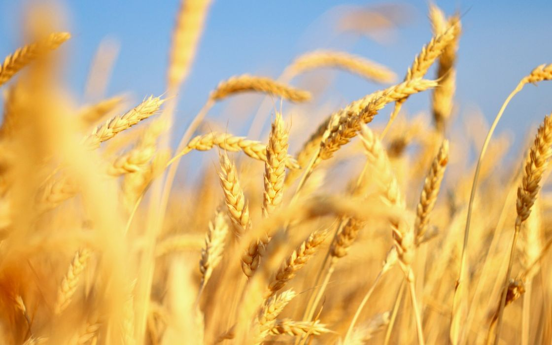 nature wheat spikelets wallpaper