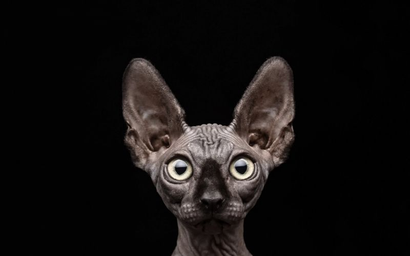 black background cat sphinx wallpaper