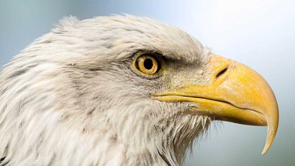 bird predator head profile beak portrait sky eagle wallpaper