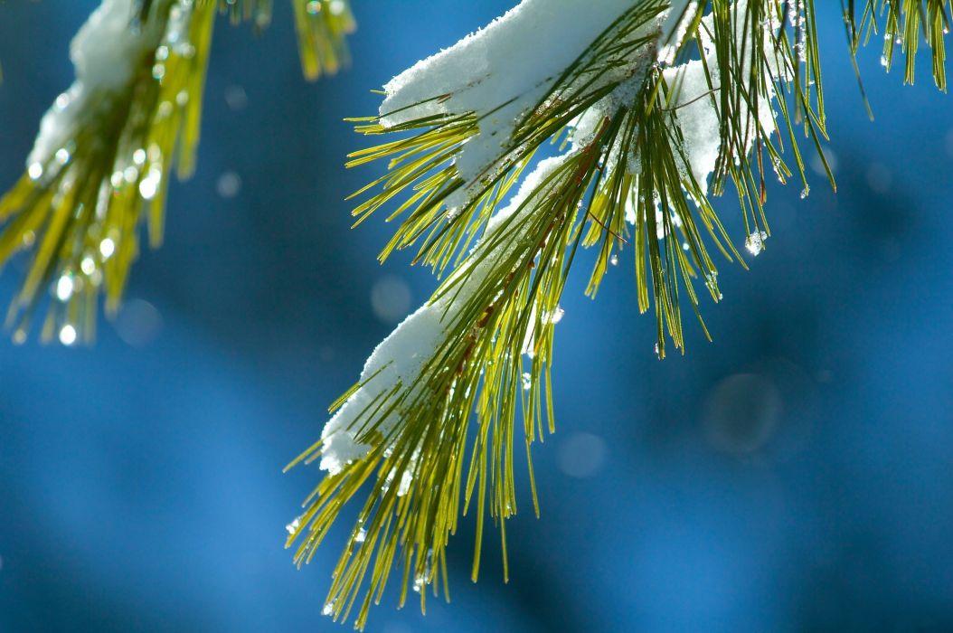 branch needles needles snow macro green blue winter bokeh wallpaper
