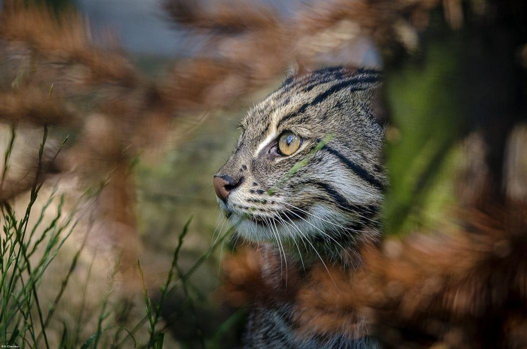 cat fisher wild cat predator face profile wallpaper