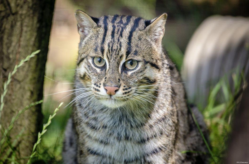cat fisher wild cat predator muzzle wallpaper