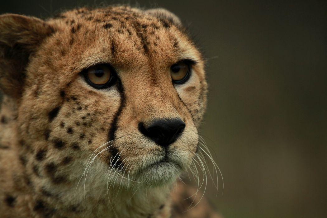 cat muzzle cheetah eyes wallpaper