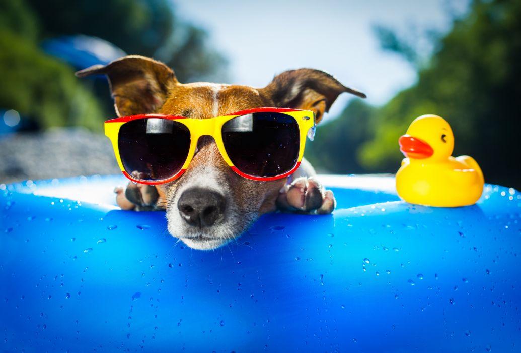 duck dog sunglasses drop wallpaper