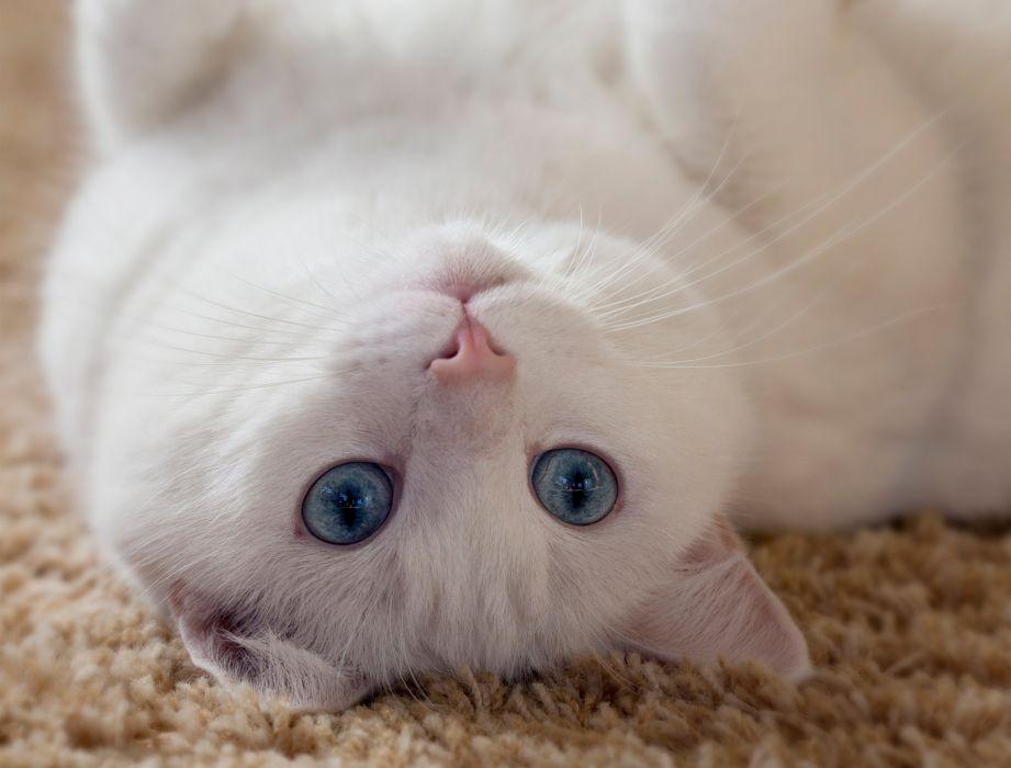 eyes ears white eyes cat whiskers wallpaper