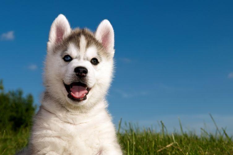 grass husky puppy husky wallpaper