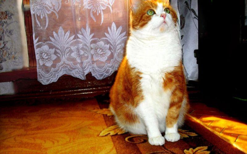 Kassak groups beautiful red cat wallpaper