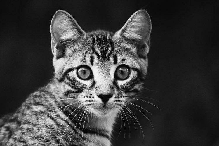 kitten look portrait striped wallpaper