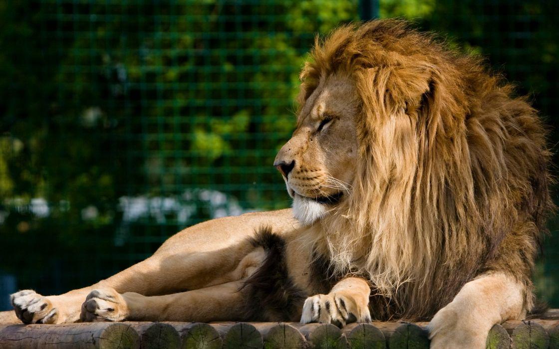 lion rest face predator mane wallpaper