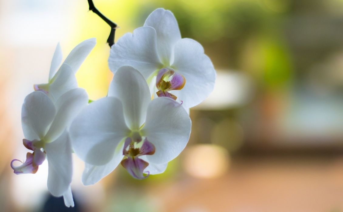 orchid white branch flowers wallpaper