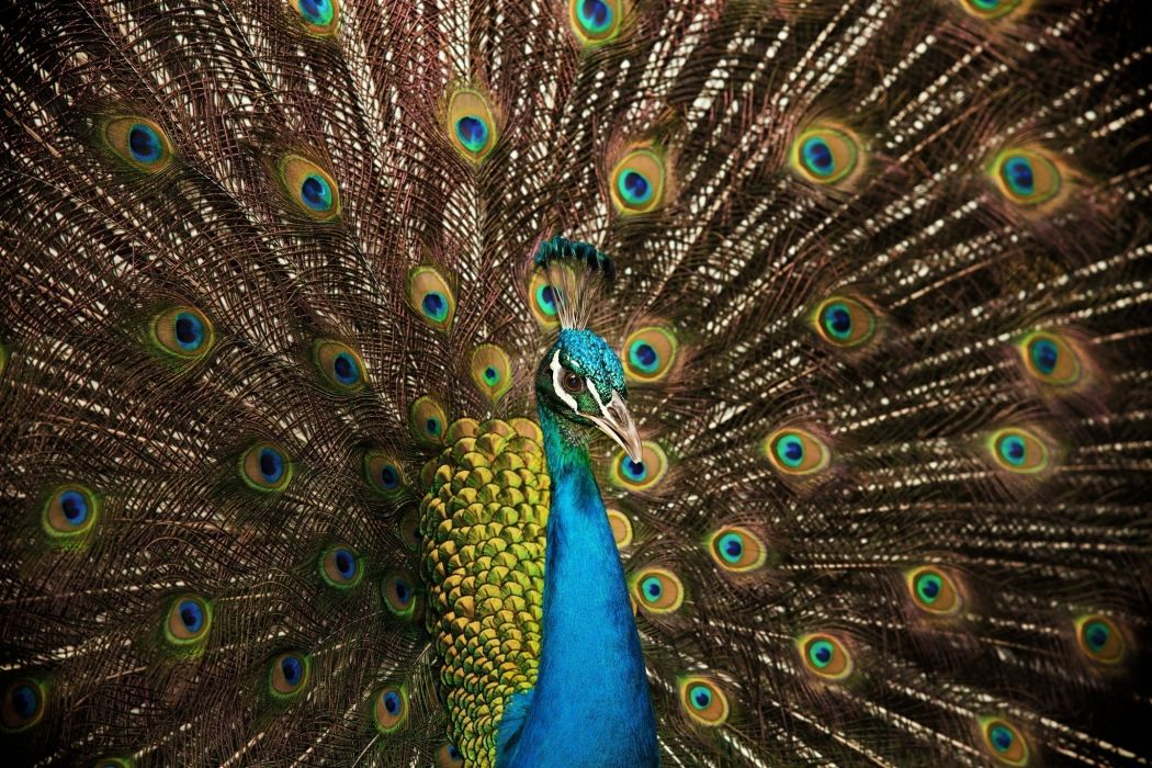 peacock bird tail feathers color wallpaper