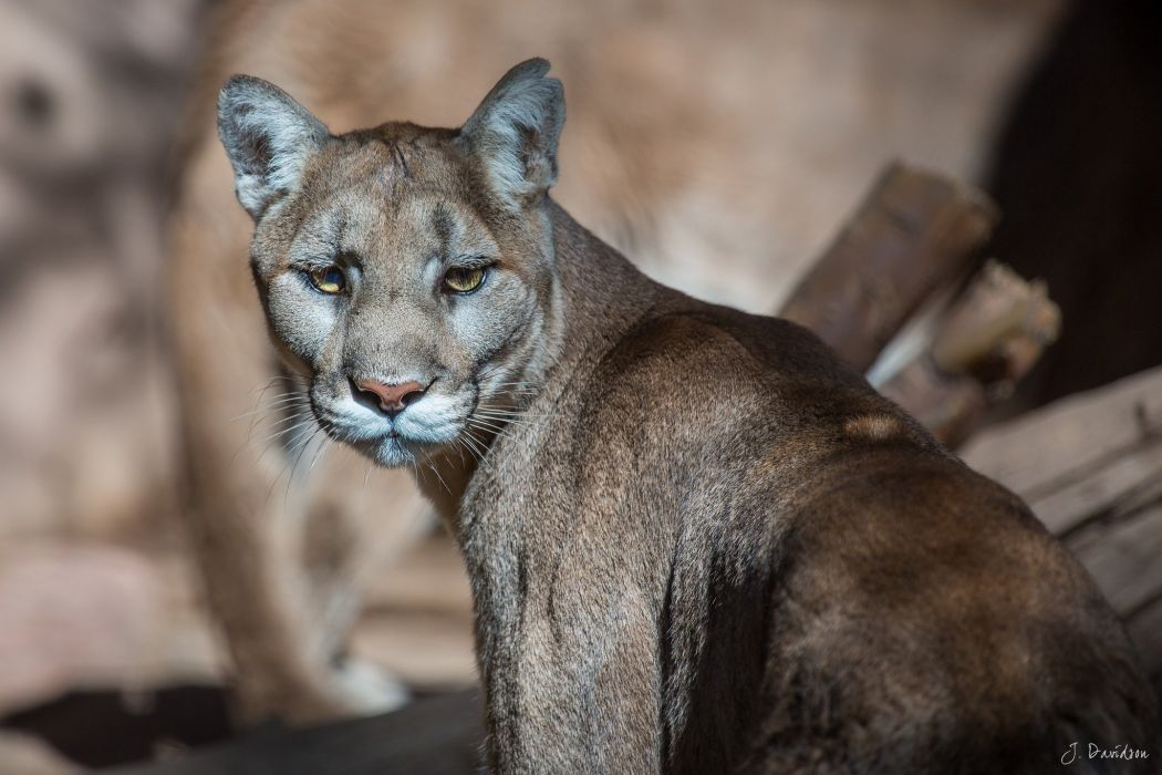 puma cougar mountain lion wild cat predator muzzle wallpaper