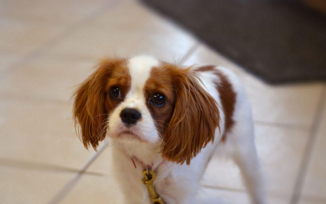 puppy eyes dog wallpaper