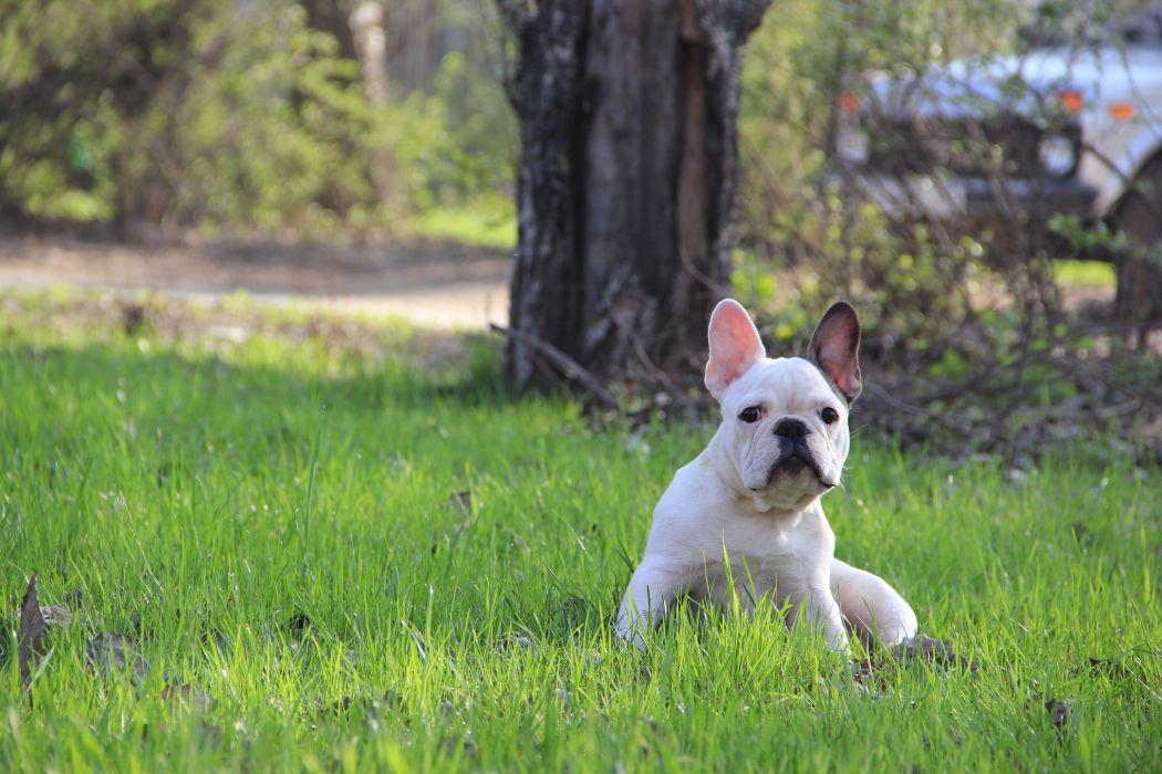 puppy french bulldog wallpaper