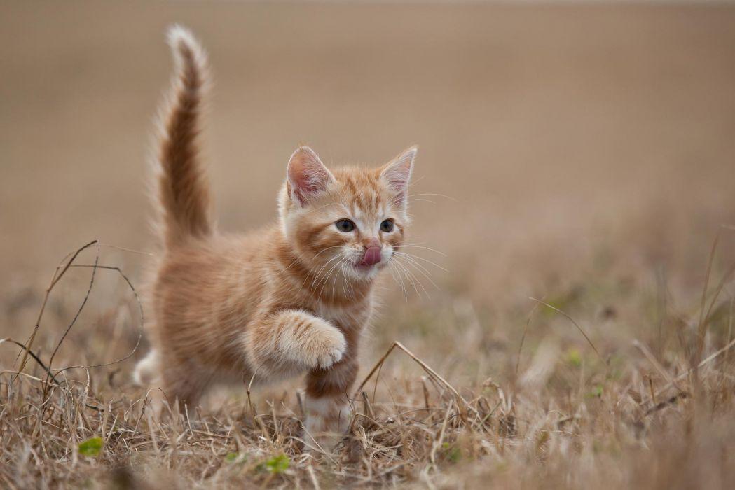 red animal cat kitten wallpaper