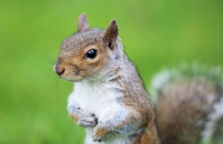 rodent squirrel muzzle protein wallpaper