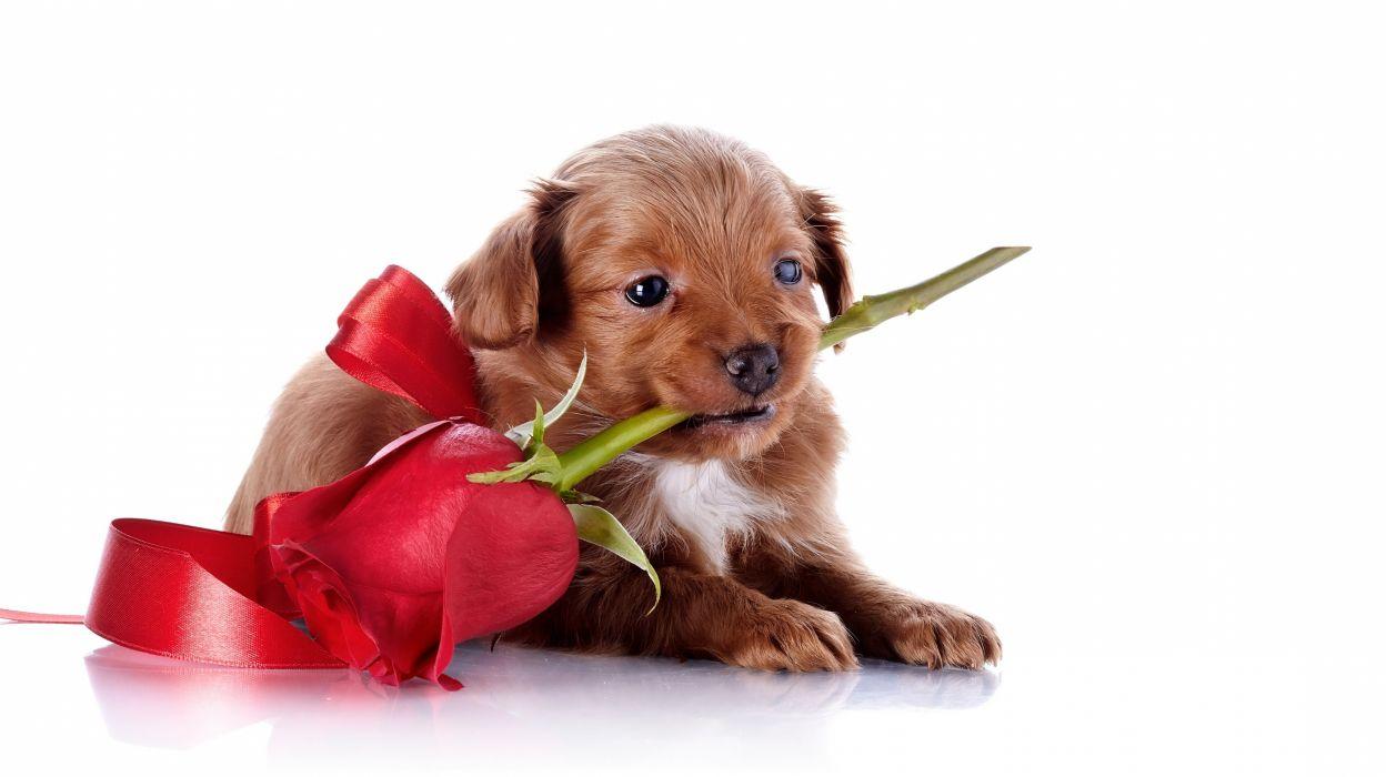 rose dog face wallpaper