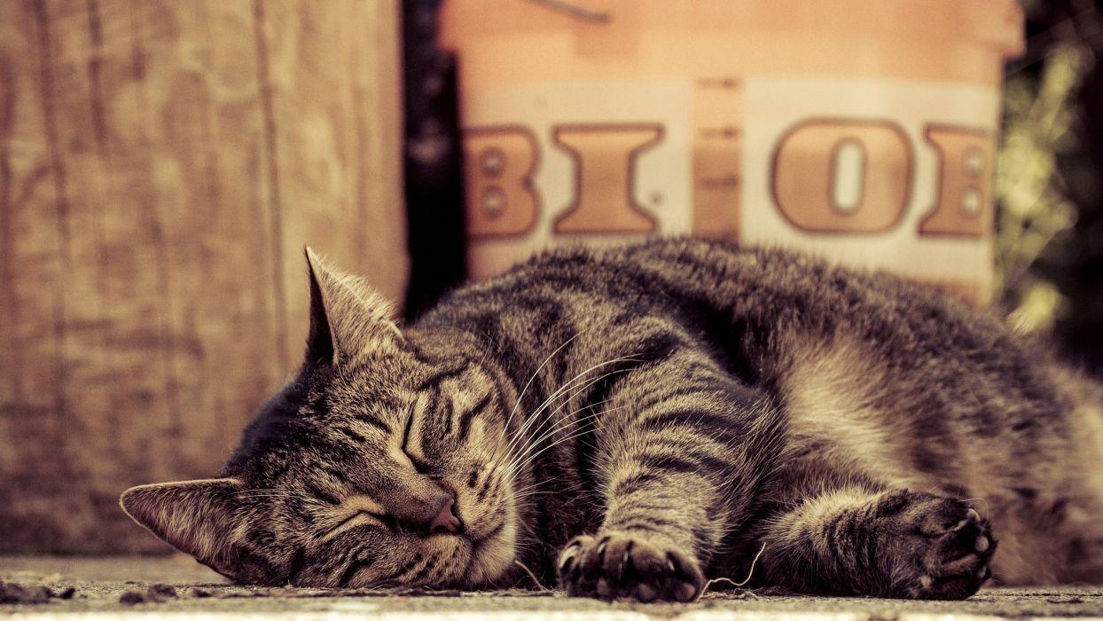 sleeping tabby cat lies paws wallpaper