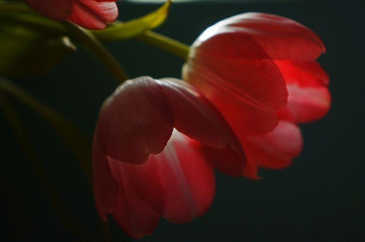 tulips red petals macro wallpaper