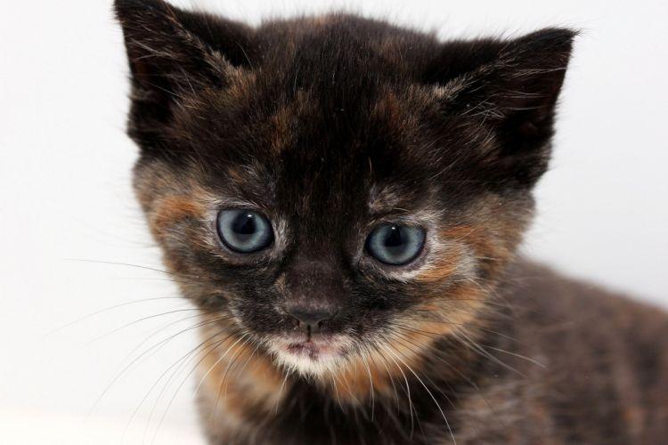 tricolor blue-eyed kitten wallpaper
