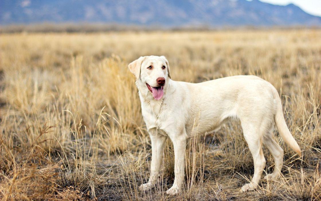 view dog field wallpaper