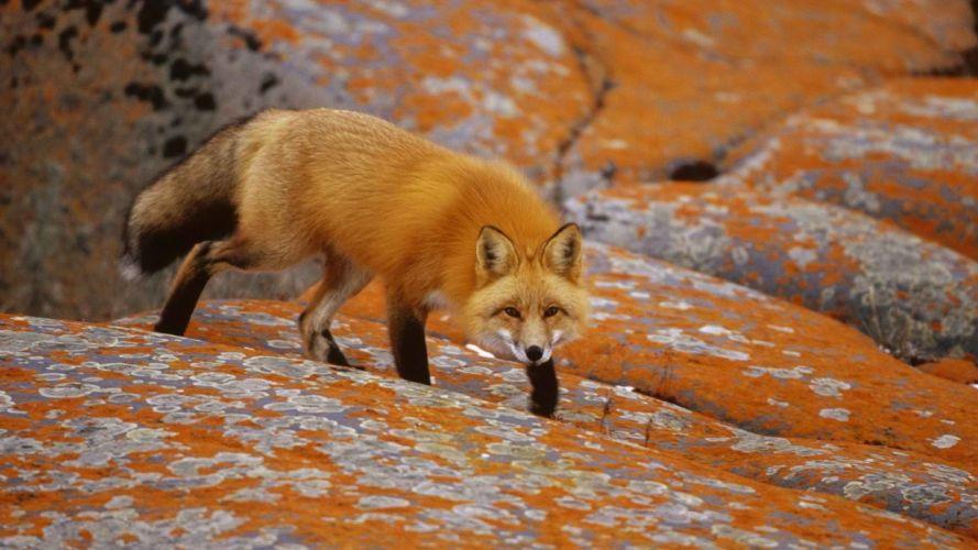 red orange Canada foxes wallpaper