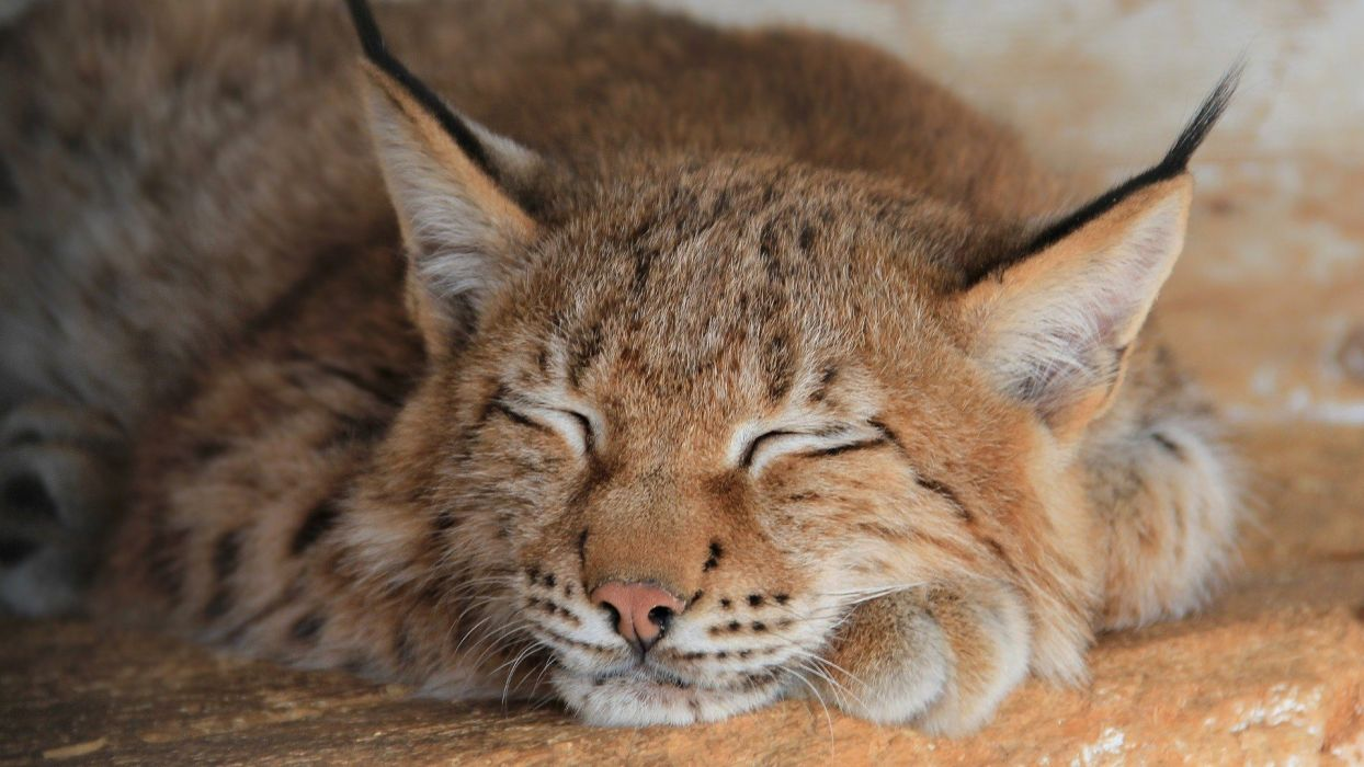 animals lynx sleeping feline wallpaper