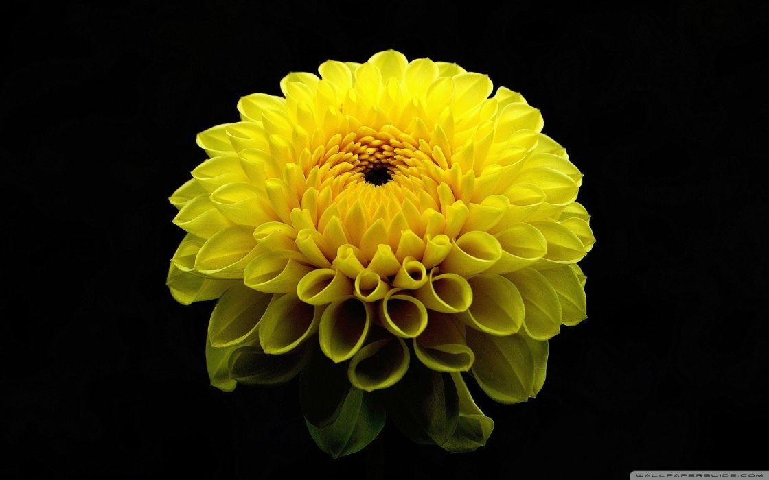 flowers marigold yellow flowers wallpaper
