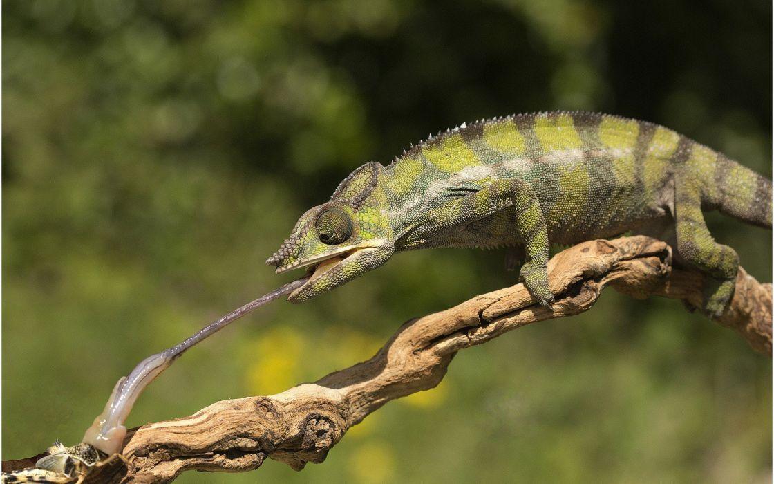 nature chameleon wallpaper