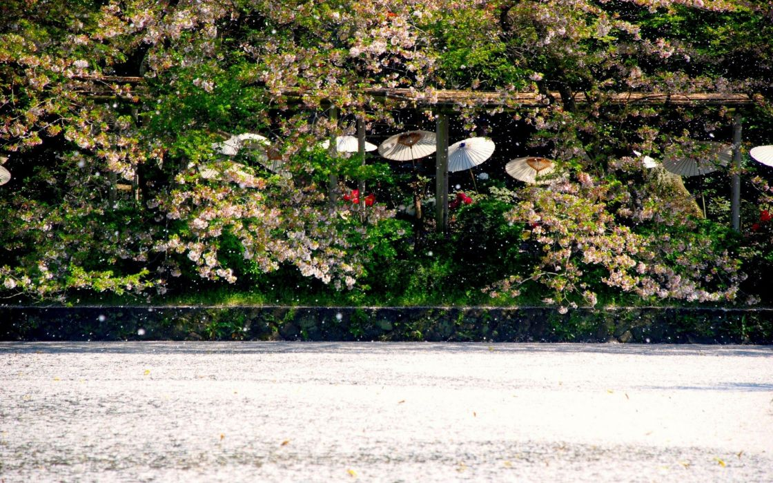 water Japan cherry blossoms flowers spring umbrellas wallpaper