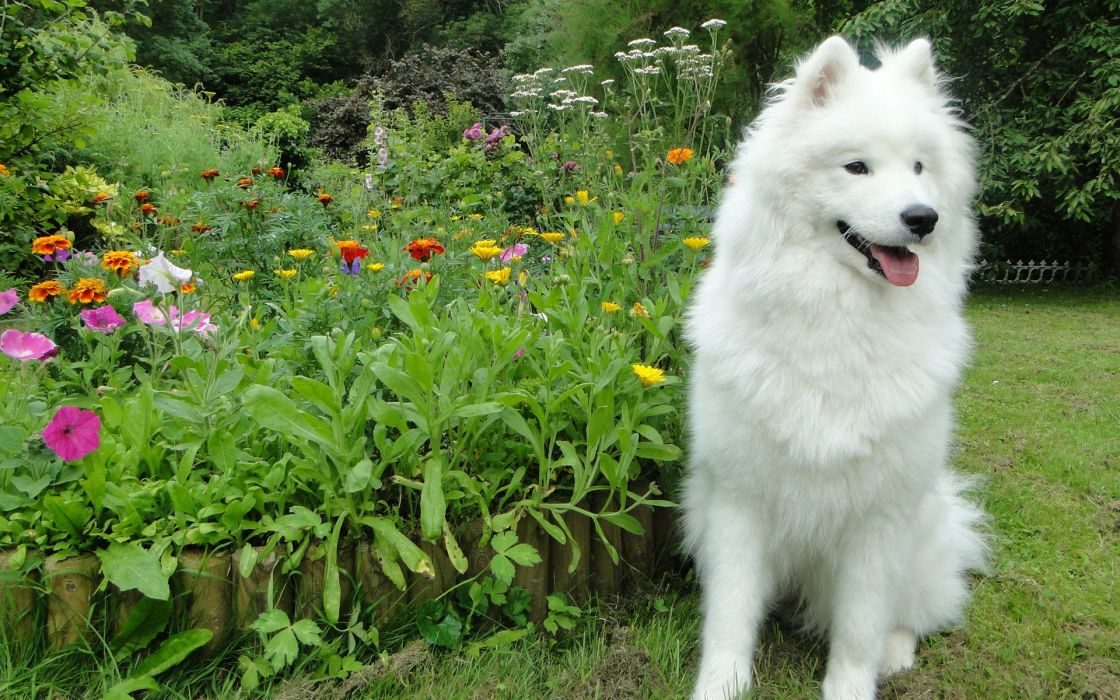flowers garden dogs Samoyed Samoyede wallpaper