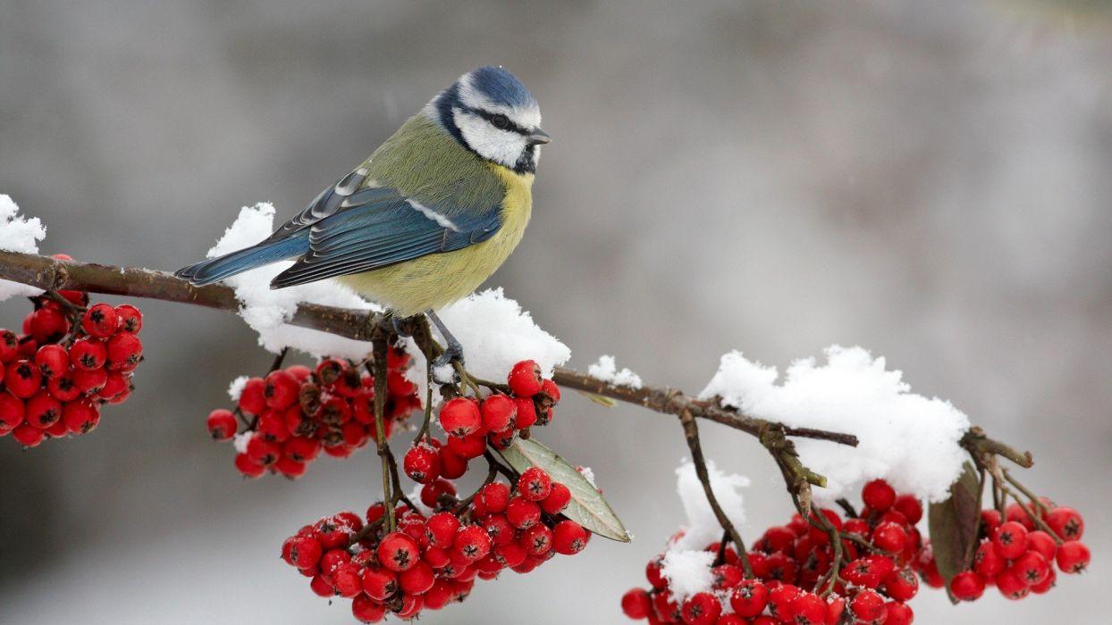 birds berries wallpaper