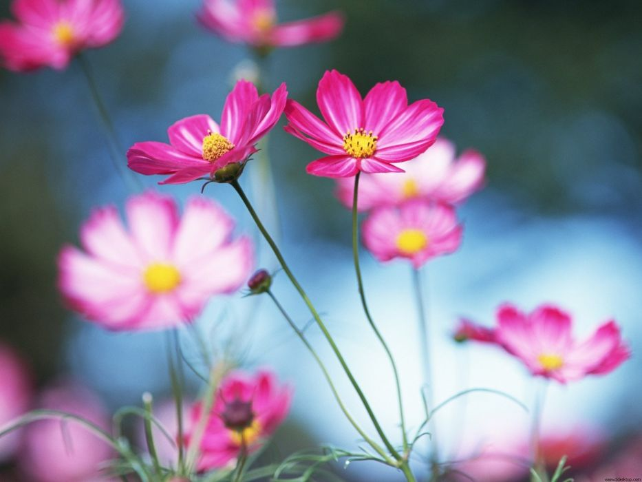 nature flowers pink flowers cosmos flower wallpaper
