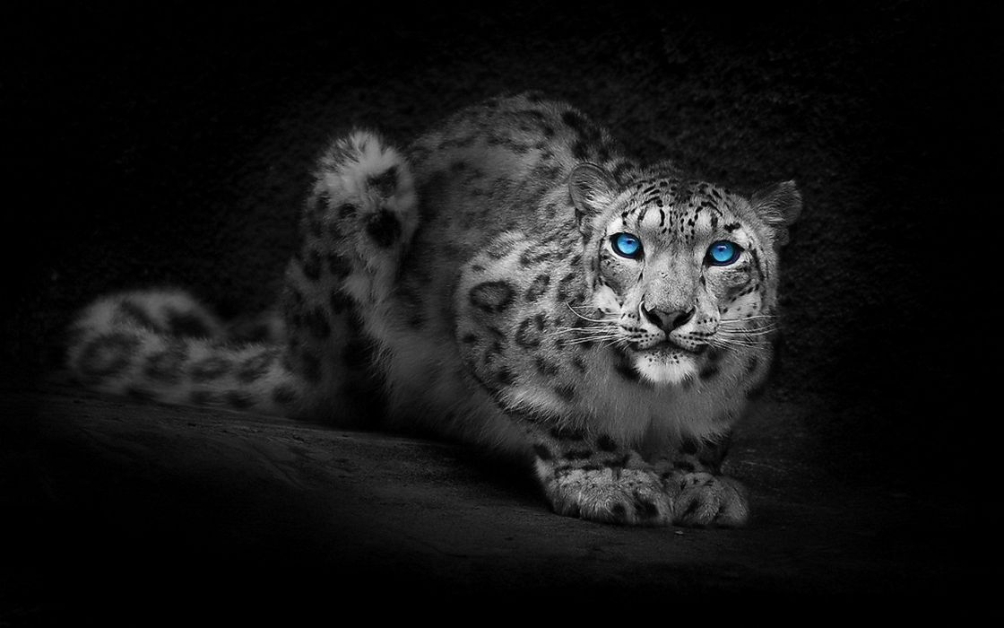 blue eyes animals selective coloring wallpaper