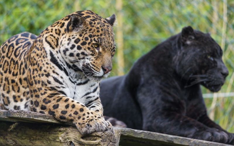 animals jaguars wild cats wallpaper