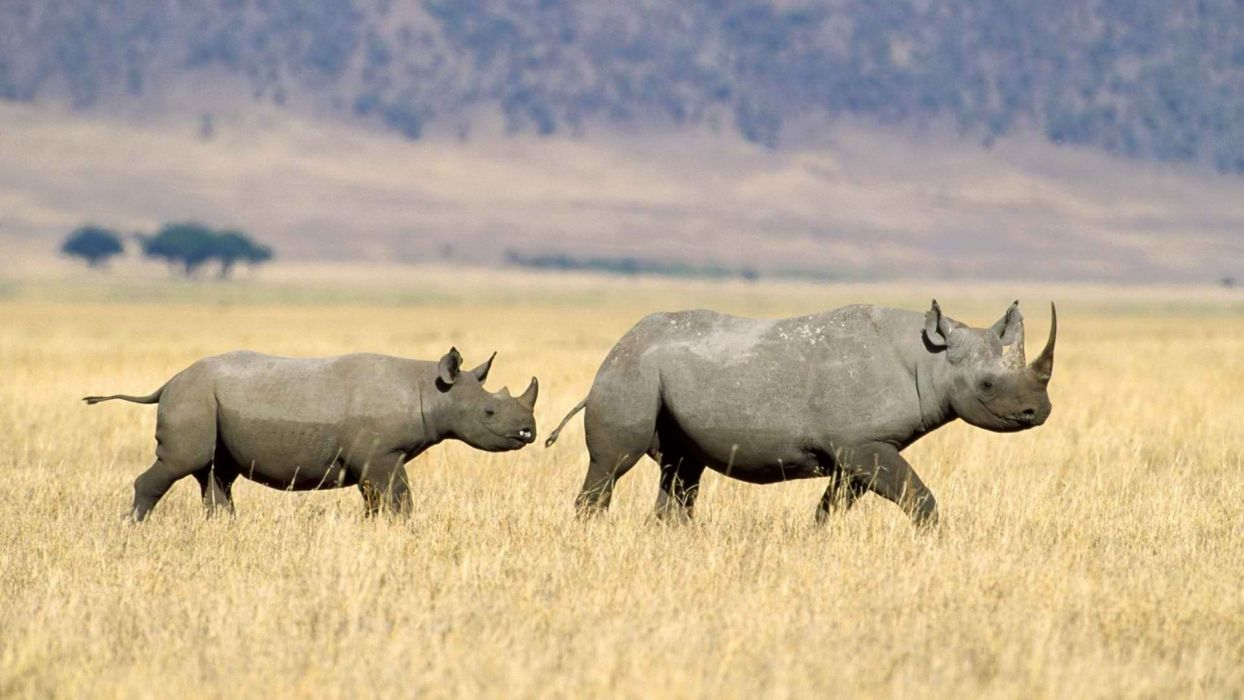 black rhinoceros Tanzania wallpaper