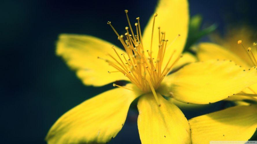 nature flowers yellow flowers wallpaper