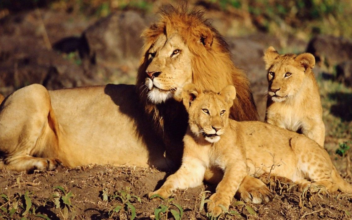 animals lions baby animals wallpaper