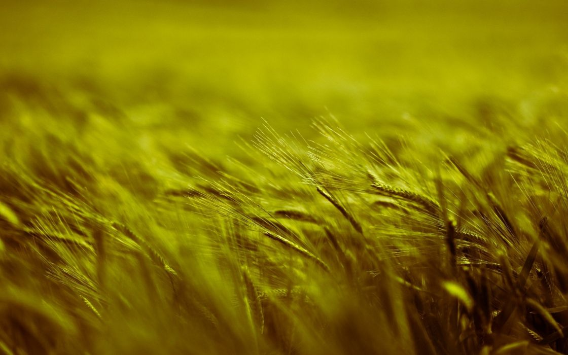 nature plants depth of field Barley wallpaper