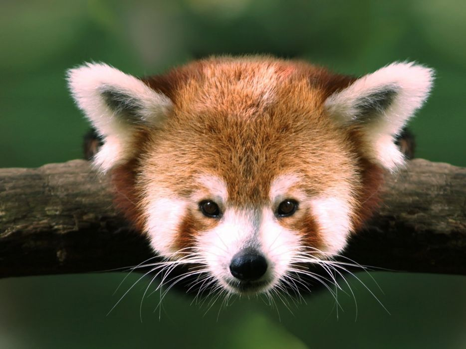 red pandas wallpaper