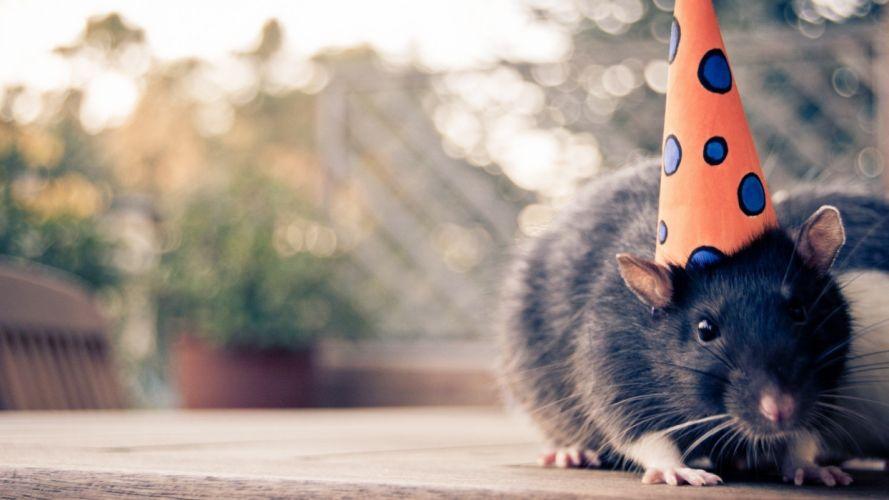 animals rats birthday wallpaper