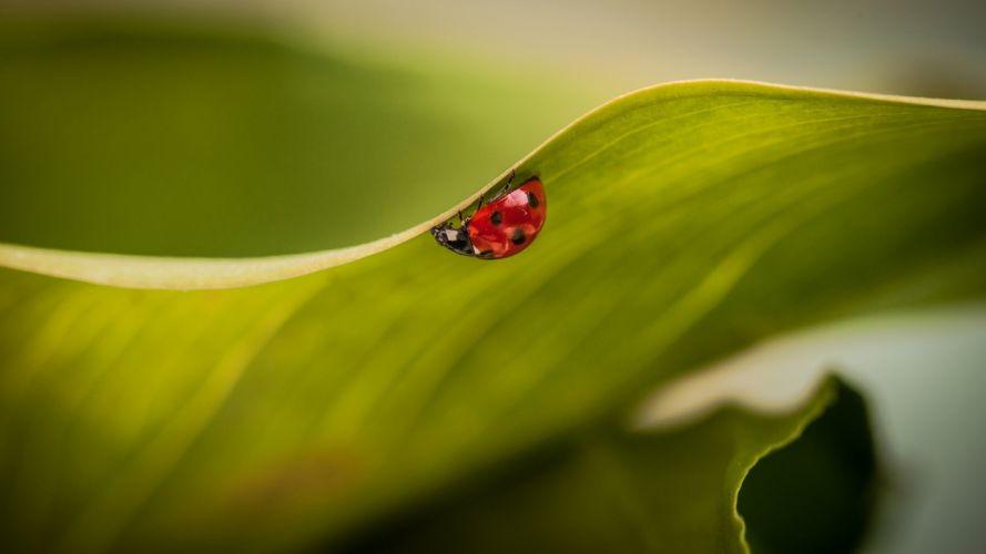 ladybirds wallpaper