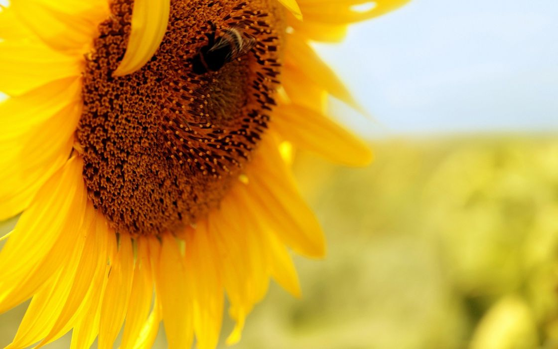 flowers insects bees pollen sunflowers yellow flowers wallpaper