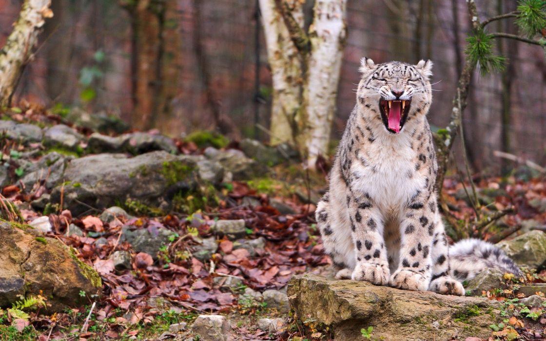 animals snow leopards wallpaper