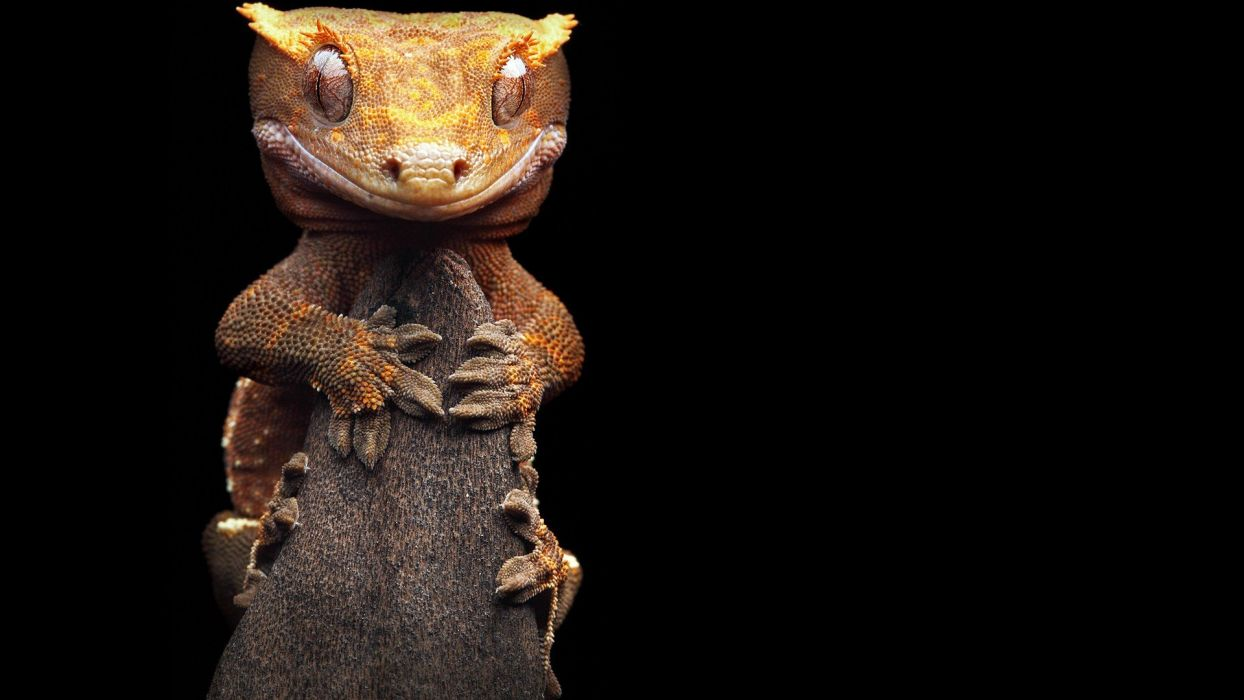 animals geckos reptiles wallpaper