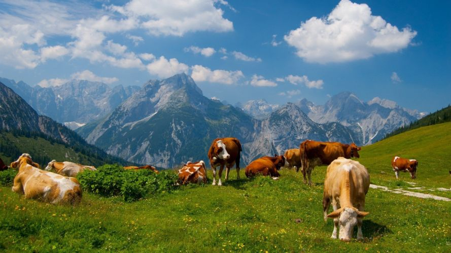 mountains landscapes nature animals cows wallpaper