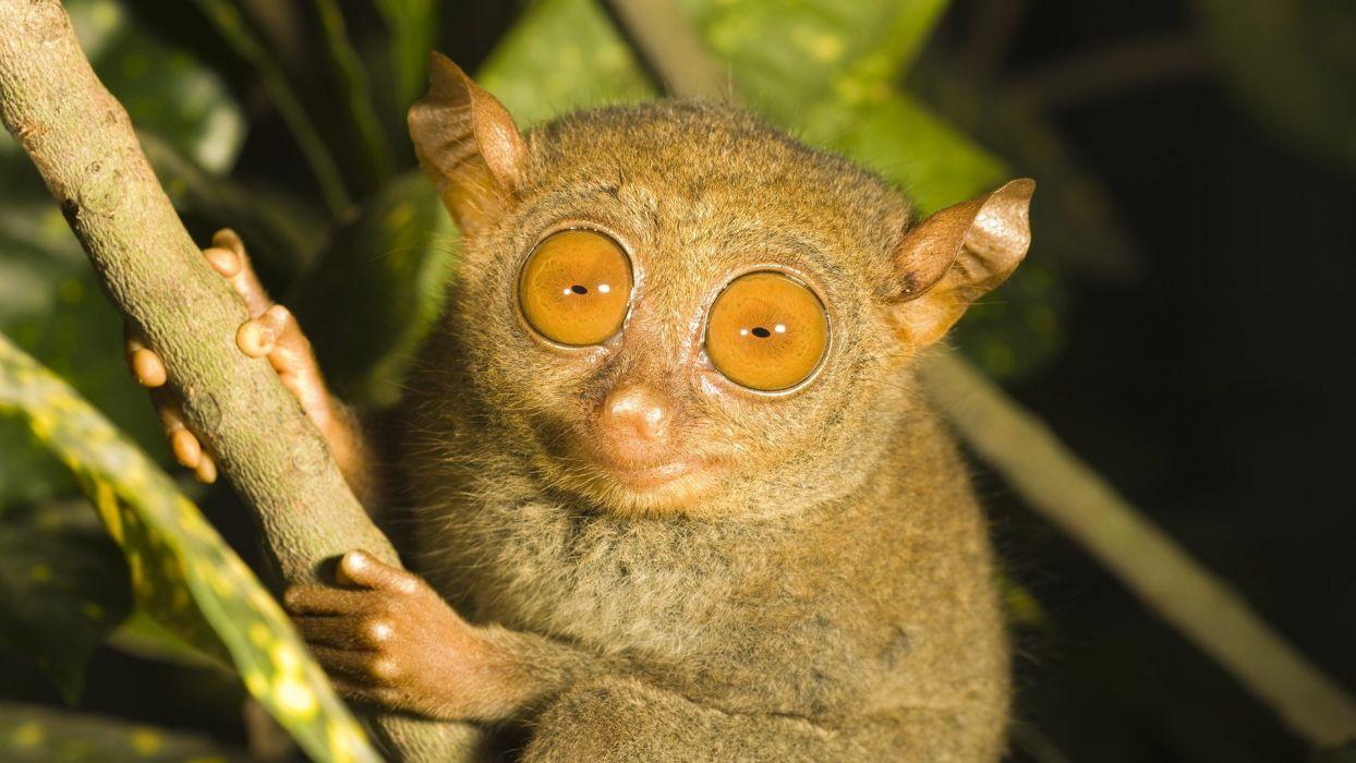 tarsiers wallpaper